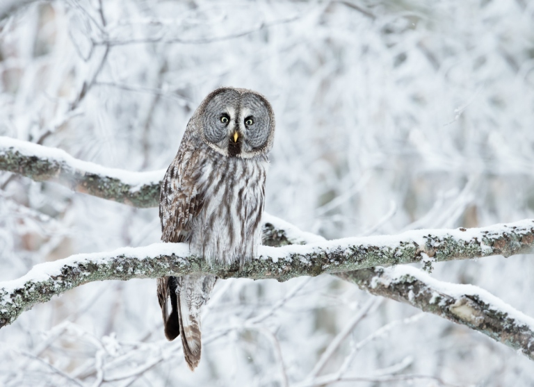 Close up of Great Grey Owl perched in a tree in winter